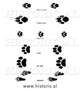 Illustration of a Raccoon, Wolf, and Wildcat Tracks - Black and White by Al