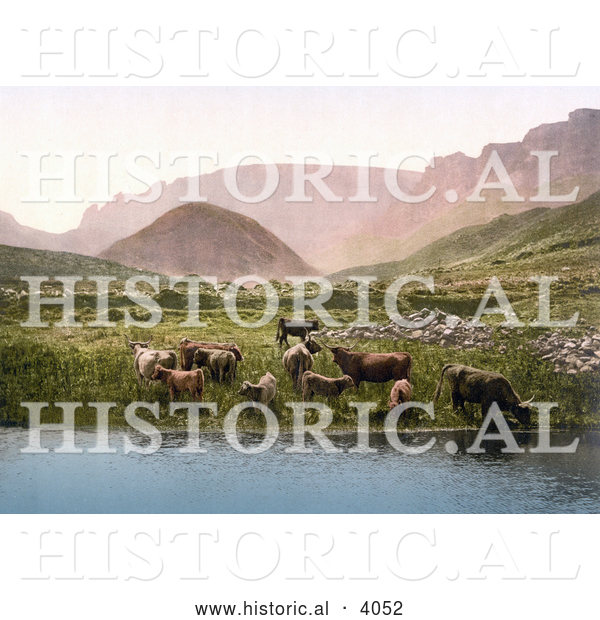 Historical Photochrom of Cows Drinking from a Lake near a Green Pasture and Mountains in England